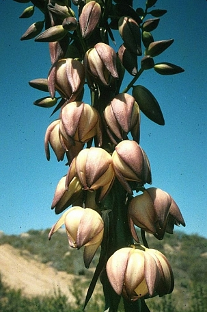 Hesperoyucca (Yucca) whipplei  Our Lord's candle