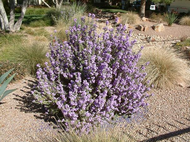 Leucophyllum langmaniae 'Lowrey's Legacy' cenizo, Texas sage, Texas ranger