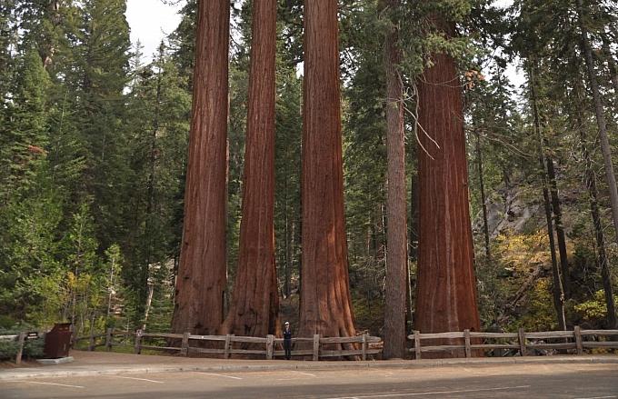 Sequoiadendron giganteum  giant Sequoia, Sierra redwood