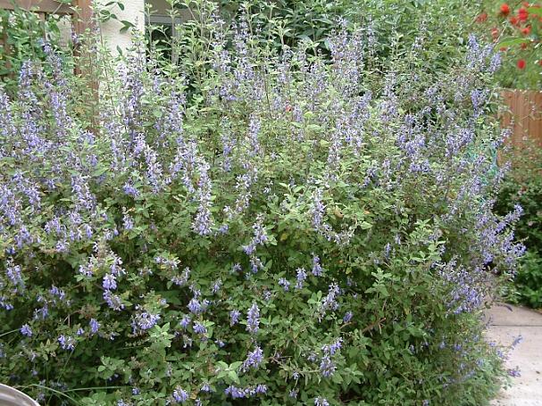Salvia  melissodora  grape-scented sage