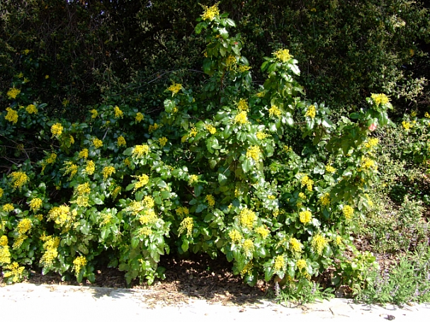 Berberis (Mahonia) aquifolium  Oregon grape