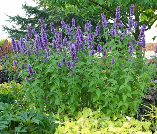 Agastache  'Blue Boa' hummingbird mint