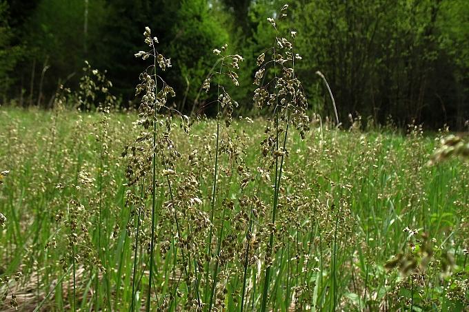 Hierochloe odorata  sweet grass
