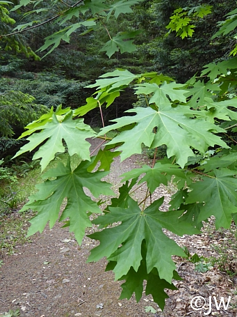 Acer macrophyllum  bigleaf maple