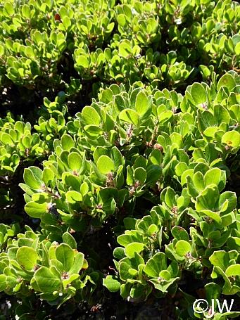 Arctostaphylos sensitiva  glossyleaf manzanita