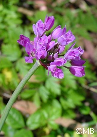 Allium dichlamydeum  coast onion