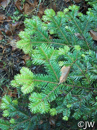 Abies grandis  grand fir