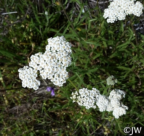 Achillea millefolium - inland form - Sonoma County seed source  yarrow