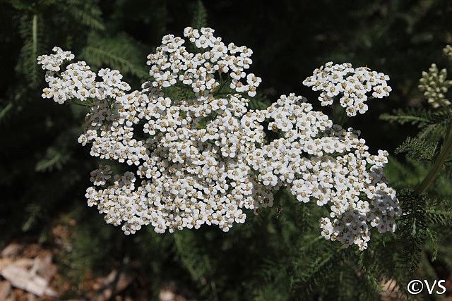 Achillea millefolium 'King Range' yarrow