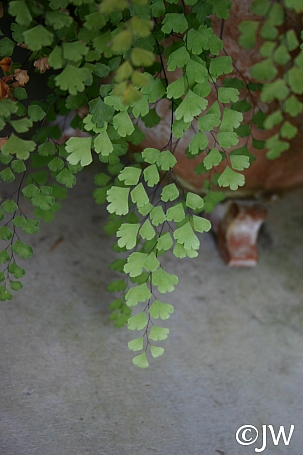 Adiantum capillus-veneris  southern maidenhair fern