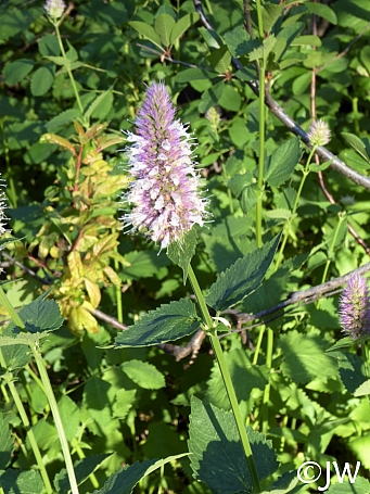 Agastache urticifolia  licorice mint