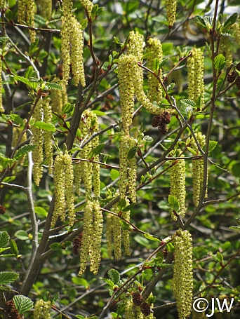 Alnus incana ssp. tenuifolia  mountain alder