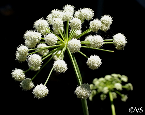 Angelica tomentosa  foothill angelica