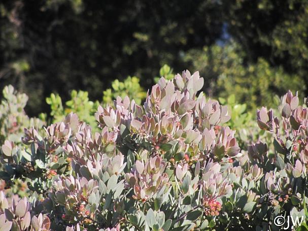Arctostaphylos canescens  hoary manzanita