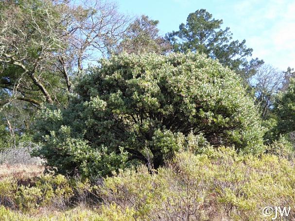 Arctostaphylos manzanita  common manzanita