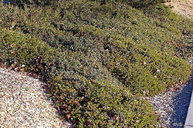 Arctostaphylos  'Emerald Carpet' manzanita