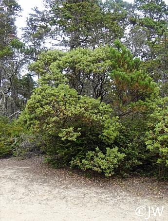 Arctostaphylos columbiana  hairy manzanita