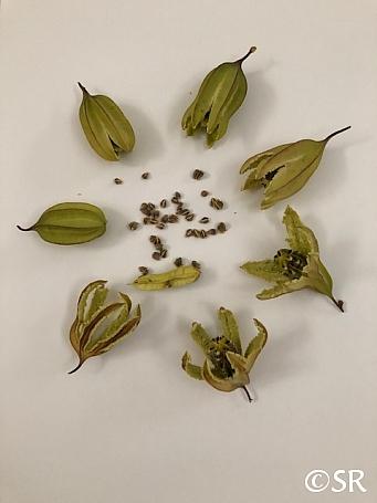 Aristolochia californica  Dutchman's pipe vine