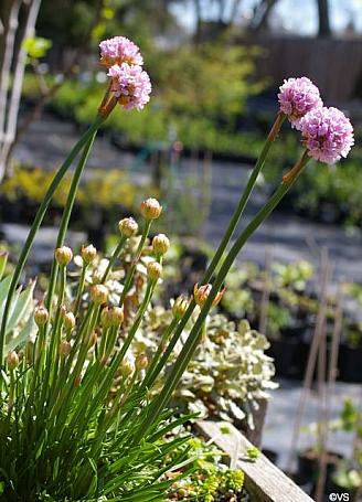 Armeria maritima ssp. californica  sea thrift