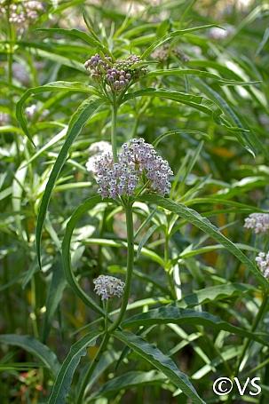 Asclepias fascicularis  narrowleaf milkweed