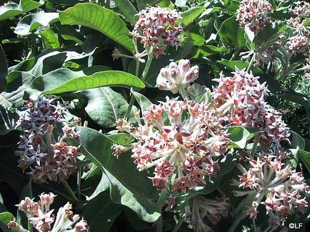 Asclepias speciosa  showy milkweed