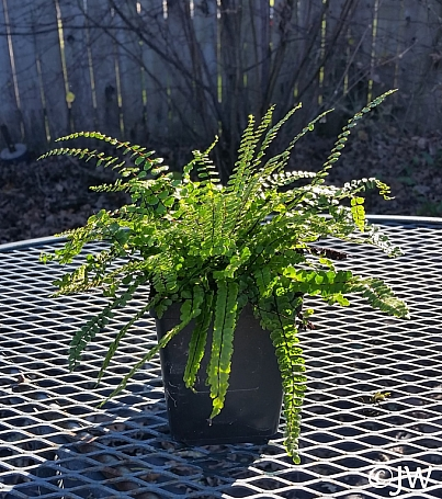 Asplenium trichomanes  maidenhair spleenwort
