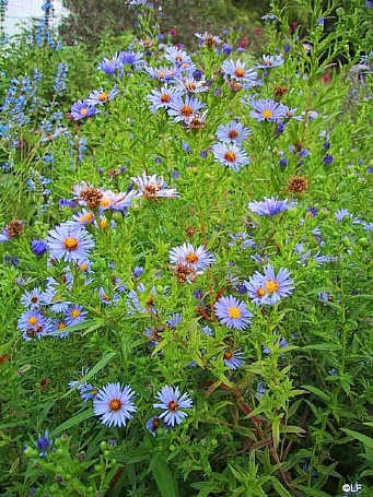 Aster (Symphyotrichum)  'Bill's Big Blue' aster