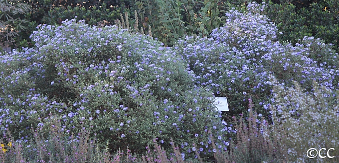 Aster (Symphyotrichum)  'Fanny's'