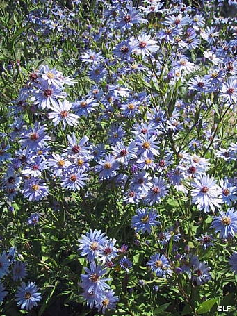 Aster (Symphyotrichum)  'Little Carlow' aster