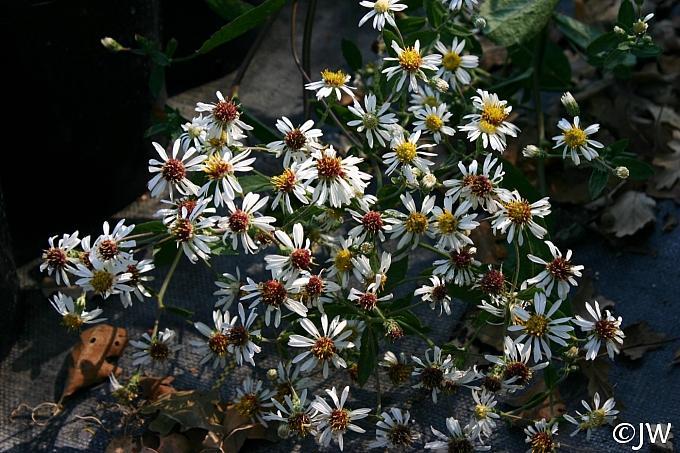 Aster (Eurybia) radulinus 'Gilliam Creek' rough-leaved aster