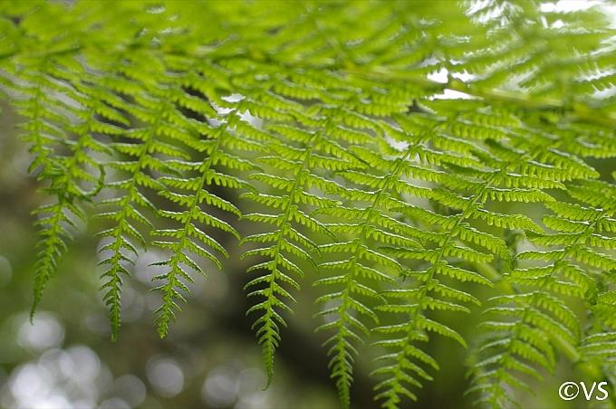 Athyrium filix-femina  lady fern