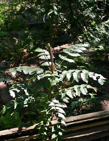 Berberis (Mahonia) nervosa var. mendocinoensis  Mendocino longleaf mahonia