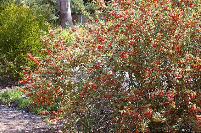 Berberis (Mahonia) nevinii  Nevin's barberry