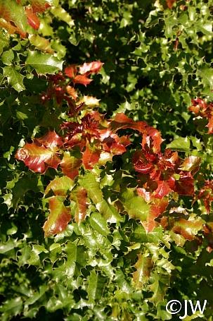 Berberis (Mahonia) pinnata 'Ken Hartman' California barberry, shiny leaf mahonia