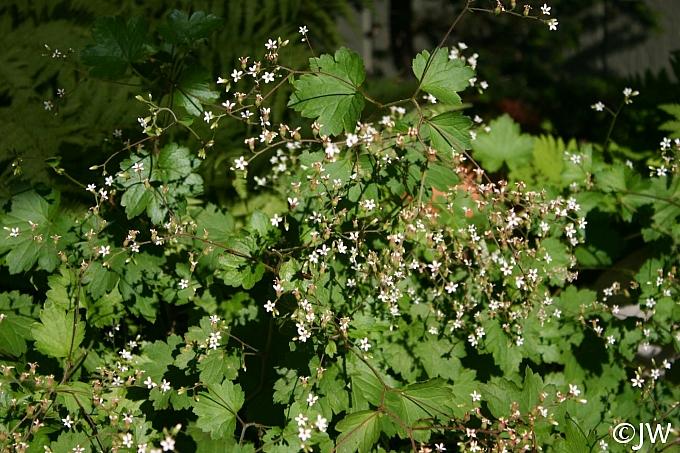 Boykinia  occidentalis  brook saxifrage