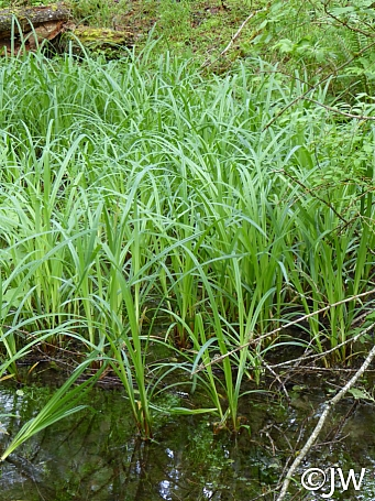 Carex amplifolia  bigleaf sedge