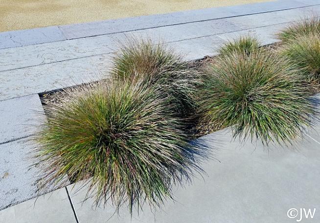 Calamagrostis foliosa  Cape Mendocino reed grass