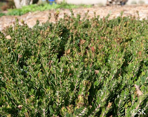 Arctostaphylos edmundsii 'Carmel Sur' Little Sur manzanita