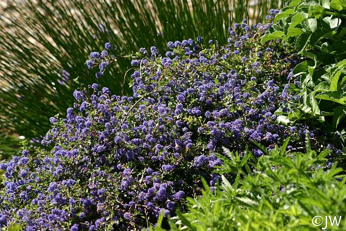 Ceanothus  'Centennial' California lilac
