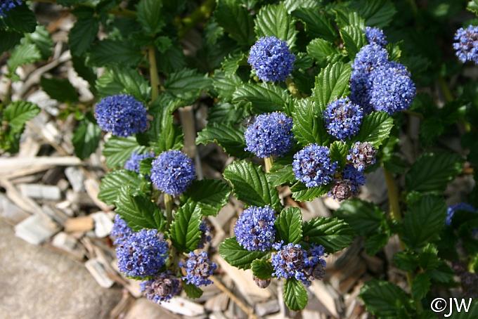 Ceanothus  'Coronado' California lilac