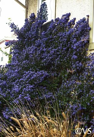 Ceanothus  'Julia Phelps' California lilac