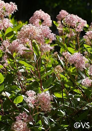 Ceanothus x pallidus 'Marie Simon' ceanothus