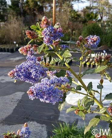 Ceanothus  'Antonette' California lilac