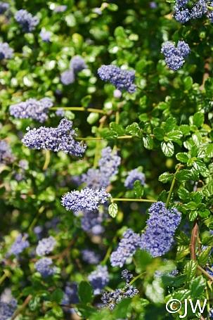 Ceanothus  'Frosty Blue' California lilac