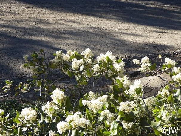 Ceanothus velutinus  snowbrush ceanothus