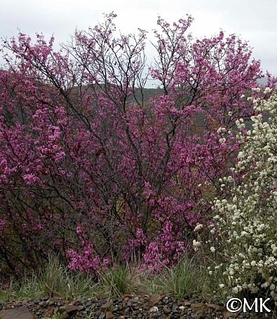 Cercis occidentalis  western redbud