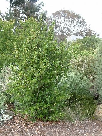 Cercocarpus betuloides  mountain mahogany
