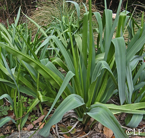 Chlorogalum pomeridianum v. pomeridianum  soap plant