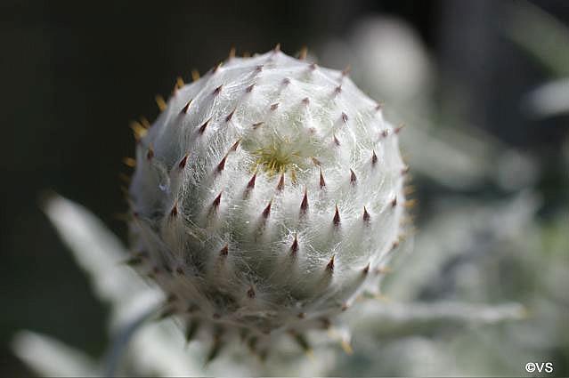 Cirsium occidentale  cobweb thistle