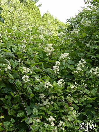 Clematis Ligusticifolia California Flora Nursery